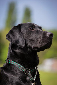 Black Labrador retriever, portrait, wearing a collar, Worcestershire, UK - TJ Rich