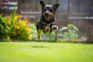 Terrier mix rescue dog, leaping in garden, Cotswolds, UK - TJ Rich