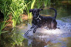 Black Labrador playing in river, Wiltshire, UK - TJ Rich