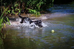 Black Labrador retriever chasing ball in river, Wilsthire - TJ Rich
