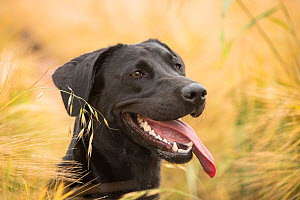 Black Labrador retriever portrait in barley field, Wiltshire, UK - TJ Rich