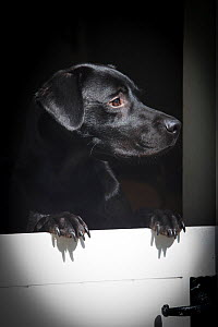 Black working labrador retriever looking for master over stable door, Wiltshire, UK - TJ Rich