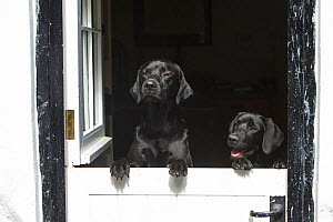 Black working labrador retrievers (adult and pup) looking over stable door, Wiltshire, UK - TJ Rich
