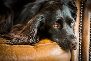 Black cocker spaniel resting on chair indoors, Wirral, UK - TJ Rich