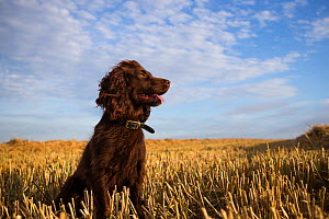 Chocolate working cocker spaniel sitting among field stubble with blue sky and clouds, Wiltshire, UK  -  TJ Rich