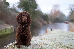Chocolate working cocker spaniel sitting next to Kennet and Avon Canal in winter, Wiltshire, UK  -  TJ Rich