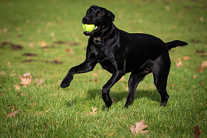 Black Labrador retirever with ball in autumn leaves, Wiltshire, UK - TJ Rich