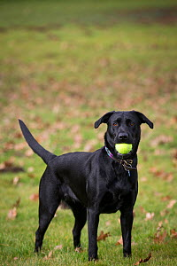 Black Labrador retriever playing with tennis ball in mouth, and autumn leaves, Wiltshire, UK. - TJ Rich