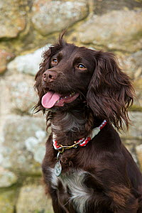 Working cocker spaniel portrait, with collar and tag, Wiltshire, UK  -  TJ Rich