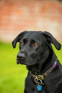 Black Labrador head portrait with collar and tag, Wiltshire, UK - TJ Rich