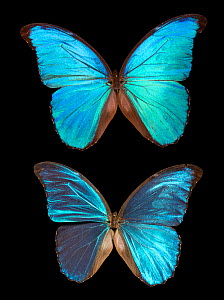 Blue Morpho butterfly (Morpho peleides showing iridescence with change of angle in relation to light source  -  Adrian Davies