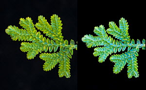 Blue Spikemoss (Selaginella uncinata) showing iridescence through change of angle in relation to light source  -  Adrian Davies