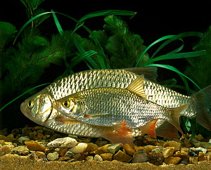 Rudd (Scardinius erythrophthalmus aquarium fish, male female pair. Occurs in Eurasia. - ARCO