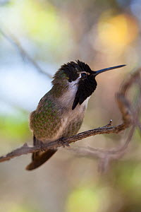 Costa's Hummingbird (Calypte costae) with light at angle where iridescence does not show. Arizona-Sonora Desert Museum, Tuscon, Arizona, USA, February. - Dr.  Axel Gebauer