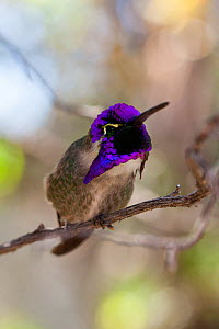 Costa's Hummingbird (Calypte costae) perched on branch showing iridescence.  Arizona-Sonora Desert Museum, Tuscon, Arizona, USA, Small repro only  -  Dr.  Axel Gebauer