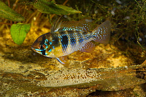 Ram cichlid (Mikrogeophagus ramirezi) male fish with iridescent scales guarding eggs . Captive, endemic to the Orinoco River basin in Venezuela and Colombia.  -  Emanuele Biggi