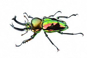 Golden green stag beetle (Lamprima sp.), adult male with big mandibles and a shiny iridescent coloration, Italy. Captive.  -  Emanuele Biggi