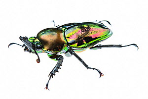 Golden green stag beetle (Lamprima sp.), adult female with a shiny iridescent coloration, Italy. Captive. - Emanuele Biggi