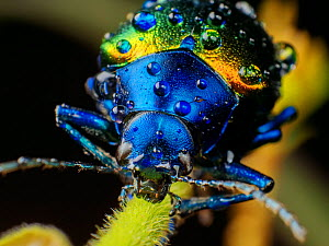 Metallic leaf beetle (Chrysomelidae) with rain droplets, frontal view, in Aiuruoca, Minas Gerais, Brazil. South-east Atlantic forest. - Joao Burini