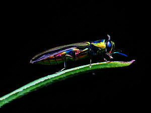 Rainbow jewel beetle (Agrilaxia sp) Sao Paulo, Brazil. South-east Atlantic forest. - Joao Burini