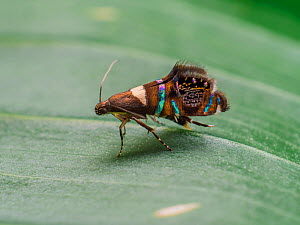 Iridescent moth  with jumping spider mimicking patterns, in Tapirai, Sao Paulo, Brazil. South-east Atlantic forest.  -  Joao Burini