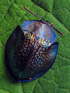 Top view of a Metallic tortoise beetle (Cassidinae, probably Cyrtonota in Piedade, Sao Paulo, Brazil. South-east Atlantic forest. - Joao Burini