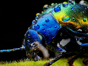 Metallic leaf beetle ( Eumolpinae) with rain droplets, in Aiuruoca, Minas Gerais, Brazil. South-east Atlantic forest. - Joao Burini