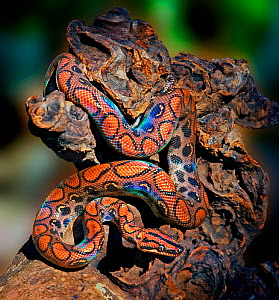 Rainbow boa (Epicrates cenchria cenchria) captive. Small repro only - Michael  D. Kern