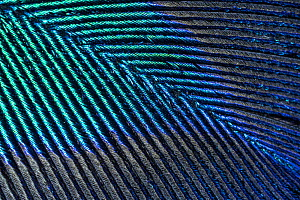 Peacock  (Pavo cristatus feather close up showing iridescence at 10x magnification - Paul  Harcourt Davies