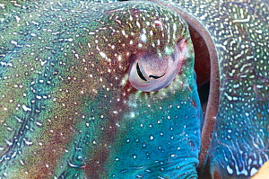 Giant cuttlefish (Sepia apama) close up of eye, Whyalla, South Australia  -  Roland  Seitre