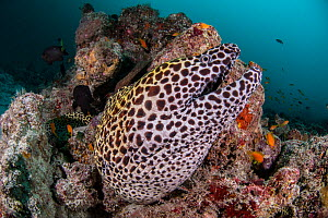 Laced moray (Gymnothorax favagineus), Ari atoll, Maldives islands, Indian Ocean - Jordi Chias