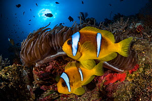 Red Sea anemonefish (Amphiprion bicinctus) in their home, a Sea anemone (Heteractis magnifica), on a coral reef. Big Brother island, Red Sea. Egypt.  -  Jordi Chias