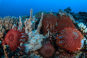 Crown-of-thorns starfish (Acanthaster planci) on the reef, Mozambique. - Jordi Chias