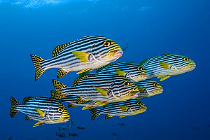 Oriental sweetlips (Plectorhinchus vittatus) South Ari Atoll, Maldives, Indian Ocean.  -  Jordi Chias