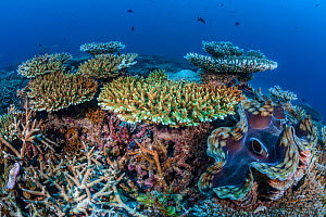 Table coral (Acropora) with Giant clams (Tridacna gigas) Addu Atoll, Maldives, Indian Ocean.  -  Jordi Chias