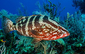 Nassau grouper (Epinephelus striatus) on a coral reef, Little Cayman Island, Cayman Islands, Caribbean. - Jordi Chias