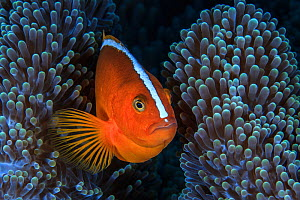 Nosestripe clownfish (Amphiprion akallopisos) in its anemone, Sulawesi, Indonesia, Sulu Sea.  -  Jordi Chias