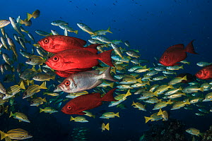 Lunar-tailed bigeye (Priacanthus hamrur) with blueline snappers (Lutjanus kasmira) in the background;Mozambique - Jordi Chias