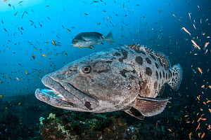 Potato cod (Epinephelus tukula) Zavora Coast, Mozambique, Indian Ocean.  -  Jordi Chias