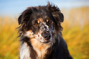 Australian Shepherd dog on beach, Connecticut, USA. - Lynn M. Stone