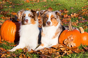 Australian shepherd dogs  with pumpkins, Guilford, Connecticut, USA. - Lynn M. Stone