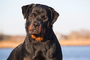 Rottweiler, 7-month female,  on shore of Long Island Sound, Connecticut, USA.  -  Lynn M. Stone