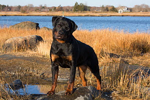 Rottweiler, 7-month female, on shore of Long Island Sound, Guilford, Connecticut, USA.  -  Lynn M. Stone