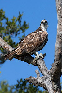 Osprey (Pandion haliaetus) eating a freshly caught fish, Tampa Bay, St. Petersburg, Florida, USA.  -  Lynn M. Stone