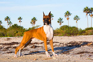 Boxer standing,  Tampa Bay at dawn, St. Petersburg, Florida, USA. Cropped ears  -  Lynn M. Stone