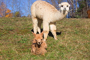 Alpaca baby and mother in pasture, early morning,  Massachusetts, USA. - Lynn M. Stone