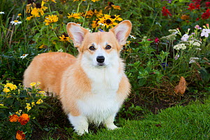 Corgi in autumn flower garden, Topsmead State Forest, Connecticut, October. - Lynn M. Stone