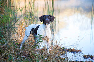 German Shorthair Pointer on cold morning, by pond, Canterbury, Connecticut, USA.  -  Lynn M. Stone