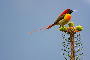 Fire-tailed sunbird (Aethopyga ignicauda) perched on conifer.  Sikkim, India. - Felis Images
