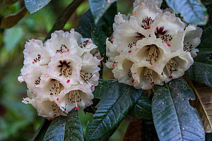 Rhododendron (Rhododendron grande) flowers, India.  -  Felis Images